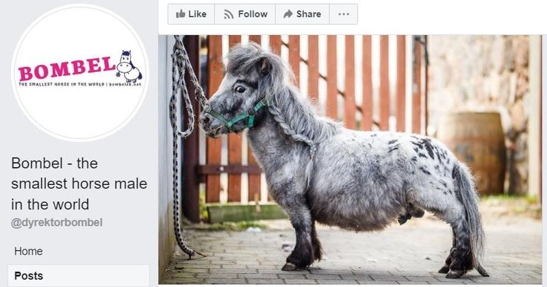 Bombel Shortest Horse