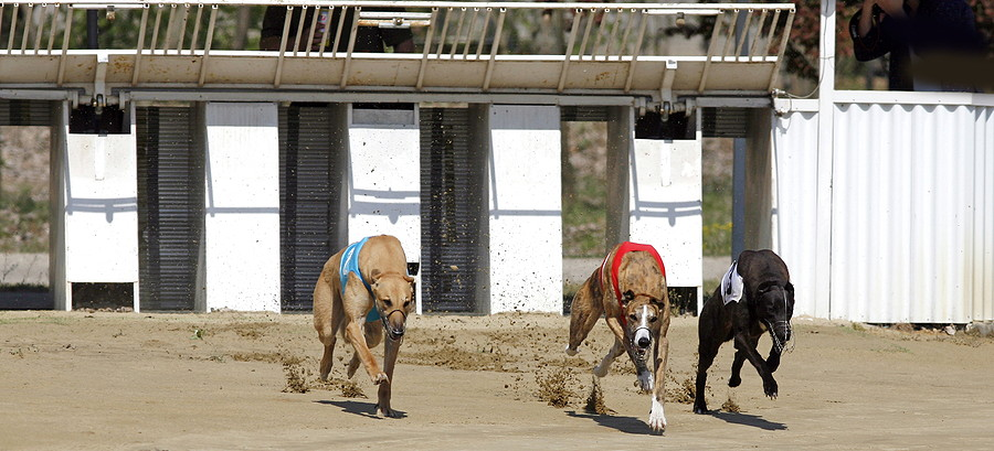 greyhound race starting