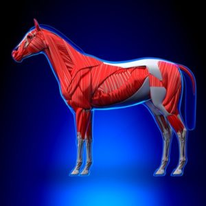 Horse Anatomy Muscle