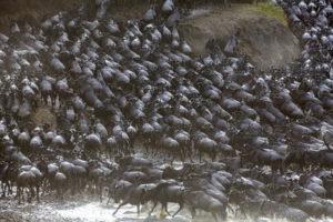migrating herd of wildebeest