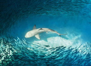 shark among shoal of fish
